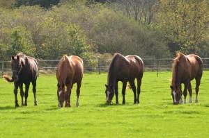Weide 4 paarden op rij