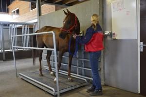 Paard wordt gewogen op de weegschaal