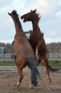 steigerende paarden
